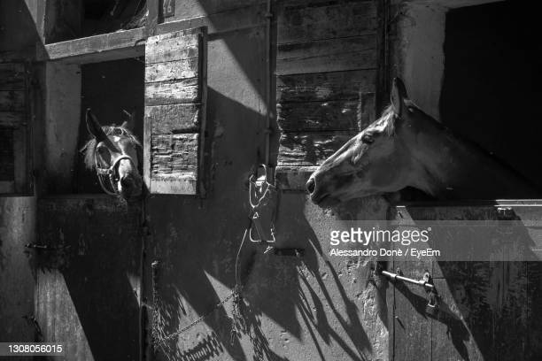 view of horses in stable - treviso italy stock pictures, royalty-free photos & images