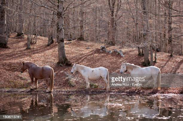view of horses in the lake - andrea rizzi stock-fotos und bilder