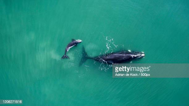 view of humpback whale and its calf, riversdale, south africa - two animals stock pictures, royalty-free photos & images
