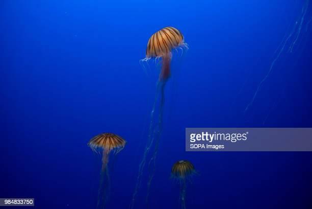 View of Japanese Sea Nettle at Hong Kong's Ocean Park amusement and animal theme park Ocean Park is a marine mammal park oceanarium animal theme park...