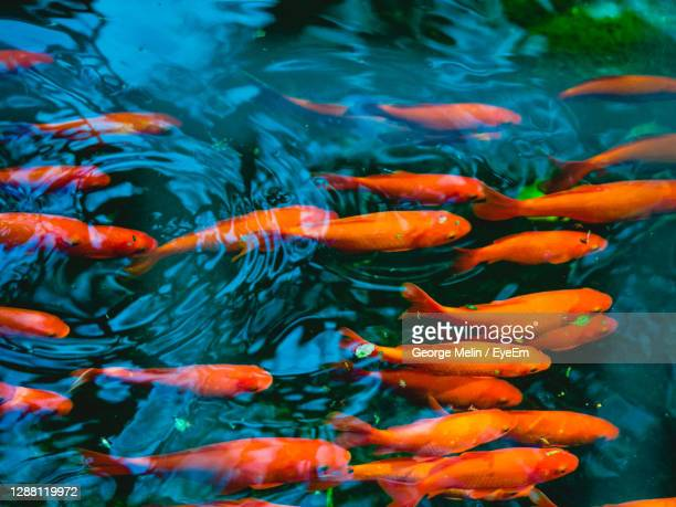 view of koi carps swimming in pond - large group of animals stock pictures, royalty-free photos & images