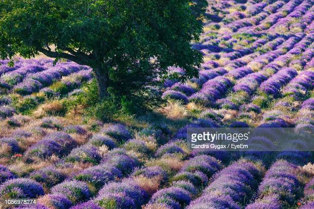 view of lavender field - sandra gygax stock-fotos und bilder