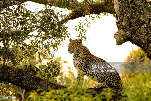 View Of Leopard On Tree