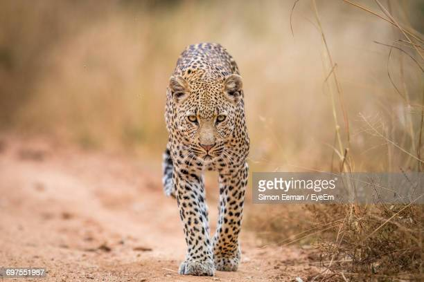 view of leopard - leopard photos et images de collection