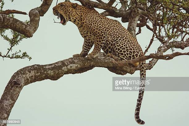 View Of Leopard Sitting On Tree Branch