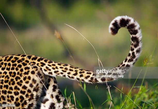 View of Leopards tail (Panthera pardus), Elephant Plains, Sabi Sands Conservancy, Mpumalanga Province, South Africa