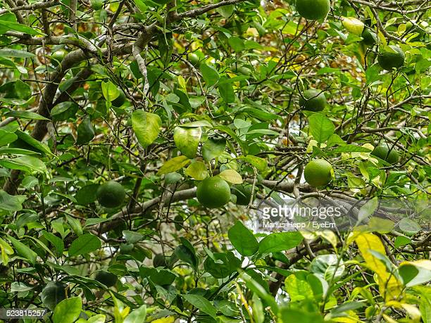 View Of Lime Tree