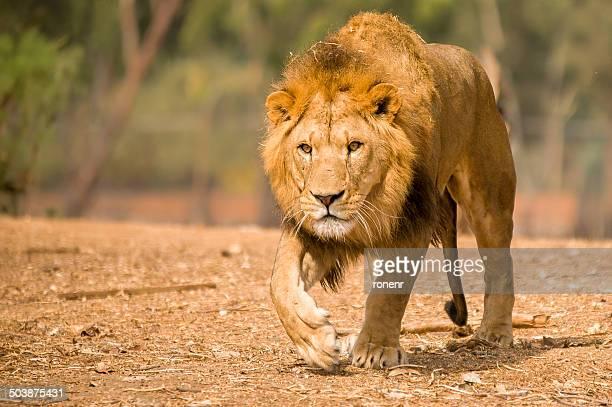 View of lion walking