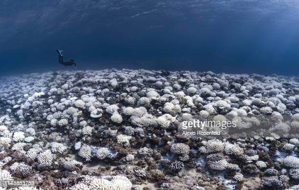 A view of major bleaching on the coral reefs of the Society Islands on May 9 2019 in Moorea French Polynesia Major bleaching is currently occurring...