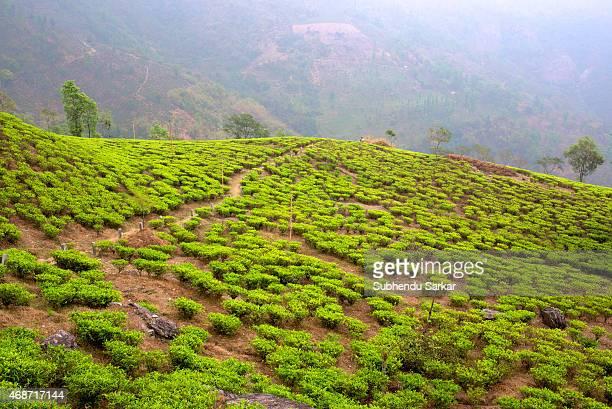 A view of Makaibari tea garden Set up in 1859 off Kurseong in the Darjeeling hills the Makaibari estate is the worlds first tea factory Swaraj Kumar...