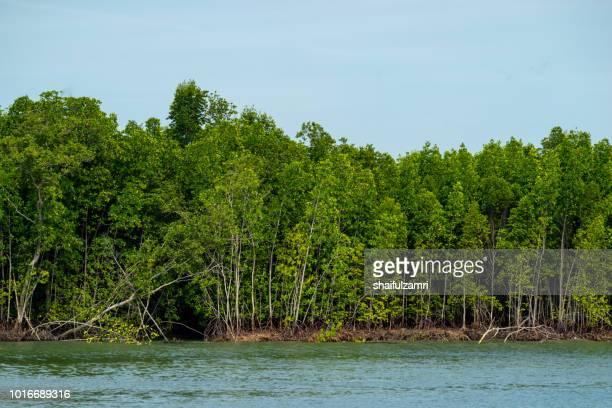 view of mangrove trees at port kelang, a shrub or small tree that grows in coastal saline or brackish water. - shaifulzamri imagens e fotografias de stock