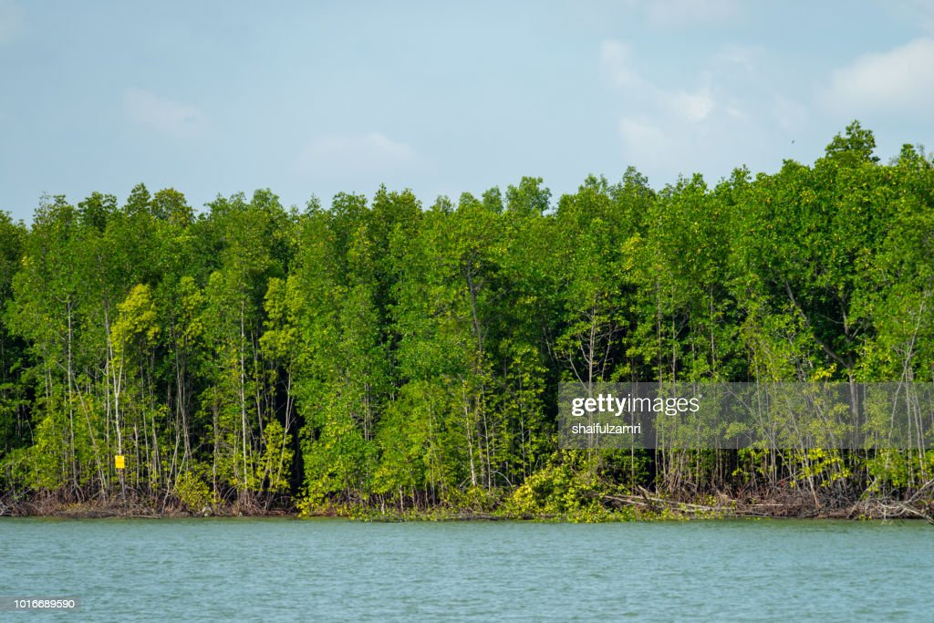 View of mangrove trees at Port Kelang, a shrub or small tree that grows in coastal saline or brackish water. : Stock Photo