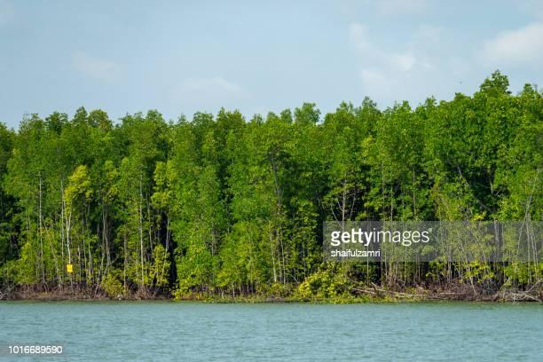 view of mangrove trees at port kelang, a shrub or small tree that grows in coastal saline or brackish water. - shaifulzamri stock-fotos und bilder