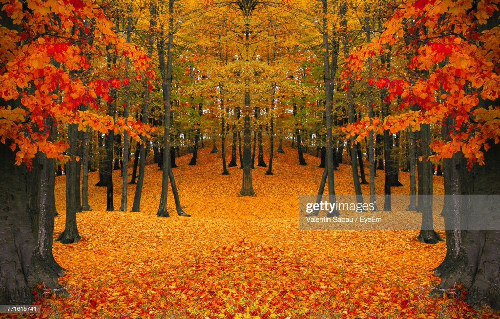 View Of Maple Trees During Autumn : Stock Photo