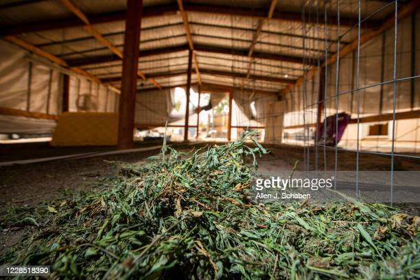 A view of marijuana left laying in a makeshift grow shelter at the property where seven people were shot to death over Labor Day weekend at an...