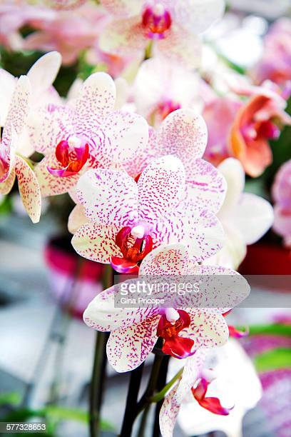 View of Moth Orchid flowers.