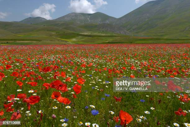 View of Mount Argentella from Pian Grande with blooming daisies poppies and cornflowers in the foreground near Castelluccio di Norcia Monti Sibillini...