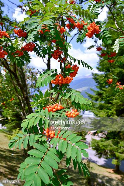 View of Mountain Ash tree in South Tyrol, Italy