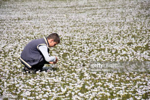 A view of Mus Plain as a kid picking up flowers after snowdrops came into bloom on March 26 2020 in Turkey's Mus Snowdrops also known as 'the herald...