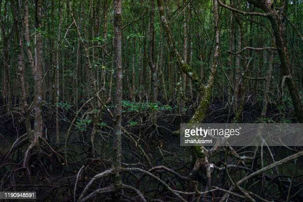 view of mystic mangrove forest at langkawi, malaysia. - shaifulzamri stock-fotos und bilder