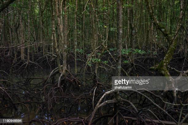 view of mystic mangrove forest at langkawi, malaysia. - shaifulzamri 個照片及圖片檔