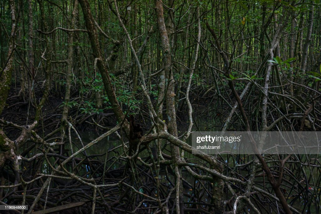 View of mystic mangrove forest at Langkawi, Malaysia. : Stock Photo
