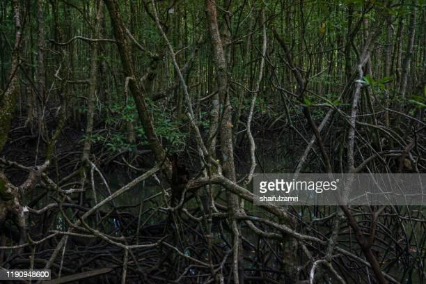view of mystic mangrove forest at langkawi, malaysia. - shaifulzamri foto e immagini stock