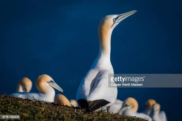 view of northern gannet birds (morusbassanus), germany - northern gannet stockfoto's en -beelden