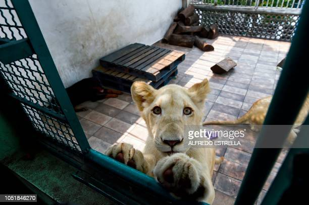 View of Numbi one of three lions owned by Mexican Omar Rodriguez during an interview with AFP at Garcia's house in Asturias neighbourhood in Mexico...