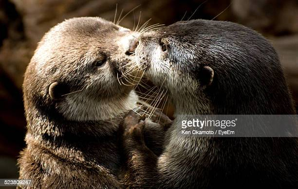 view of otters - otter stock photos and pictures