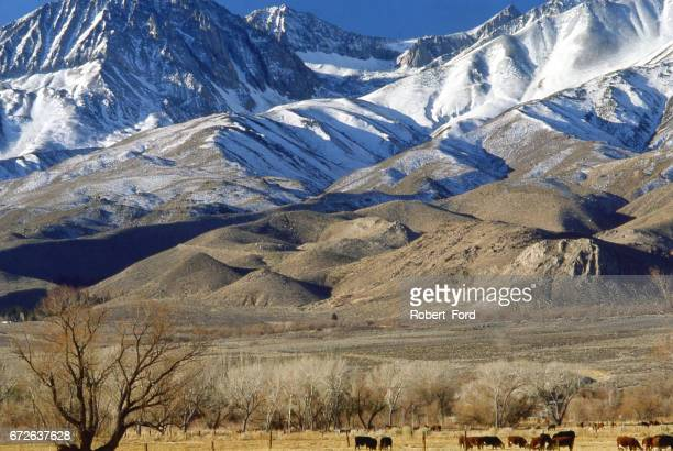 view of owens valley near big pine and bishop california in winter with snow on sierra nevada mountains and cattle in pastures and in background view of a large lateral moraine california - vista lateral stock pictures, royalty-free photos & images