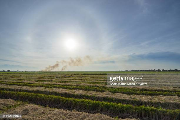 view of paddy field after harvest season - shaifulzamri foto e immagini stock