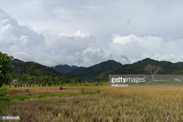 view of paddy field during harvest in bario, sarawak - a well known place as one of the major organic rice supplier in malaysia. - shaifulzamri imagens e fotografias de stock