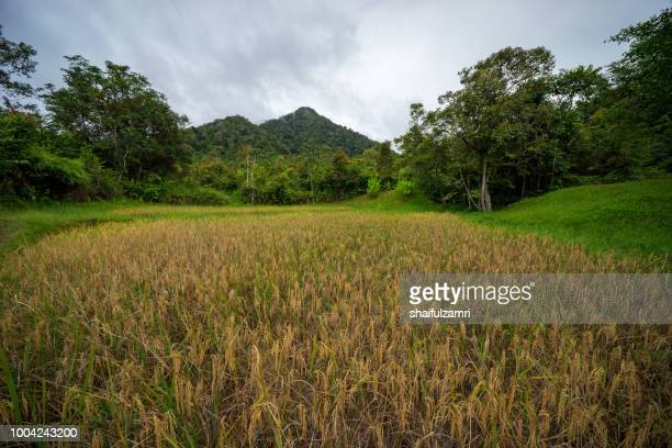 View of paddy field during harvest season in Bario, Sarawak - a well known place as one of the major organic rice supplier in Malaysia.