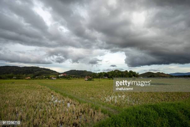 view of paddy field during harvest season in bario, sarawak - a well known place as one of the major organic rice supplier in malaysia. - shaifulzamri 個照片及圖片檔