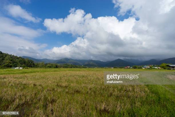 view of paddy field during harvest season in bario, sarawak - a well known place as one of the major organic rice supplier in malaysia. - shaifulzamri imagens e fotografias de stock