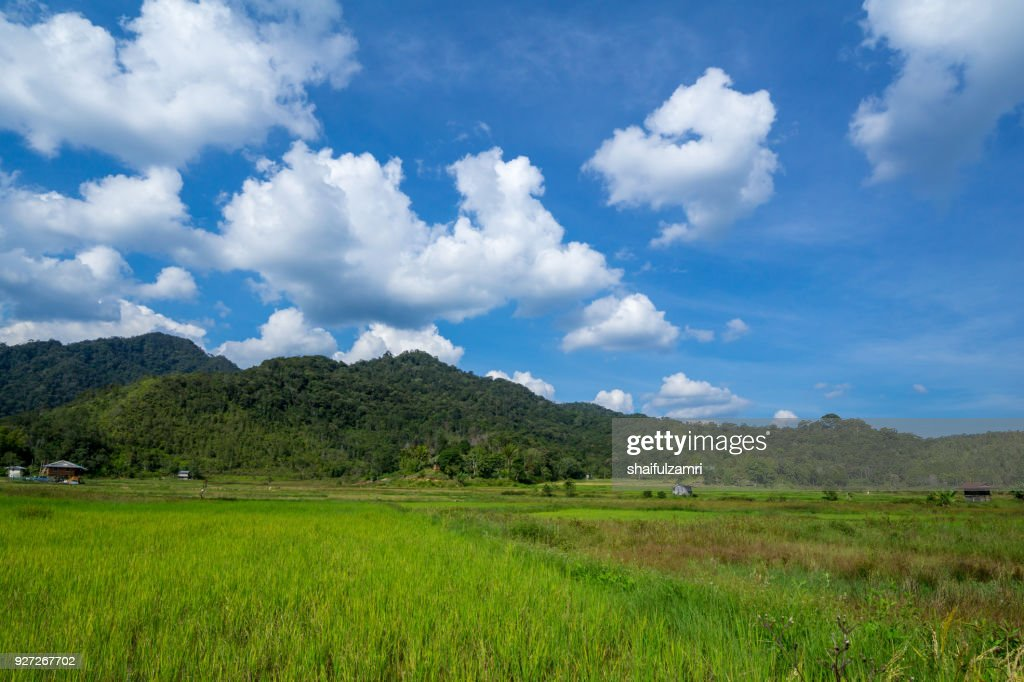 View of paddy field during harvest season in Bario, Sarawak - a well known place as one of the major organic rice supplier in Malaysia. : Stock Photo