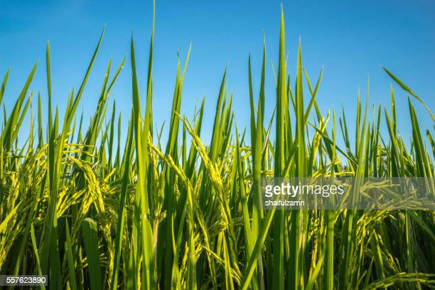 view of paddy field during sunrise in sungai besar of malaysia - shaifulzamri stock pictures, royalty-free photos & images