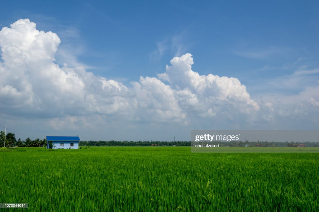 View of paddy field over rural area of Sabak Bernam. Sabak Bernam is one of the major rice supplier in Malaysia. : Stock Photo