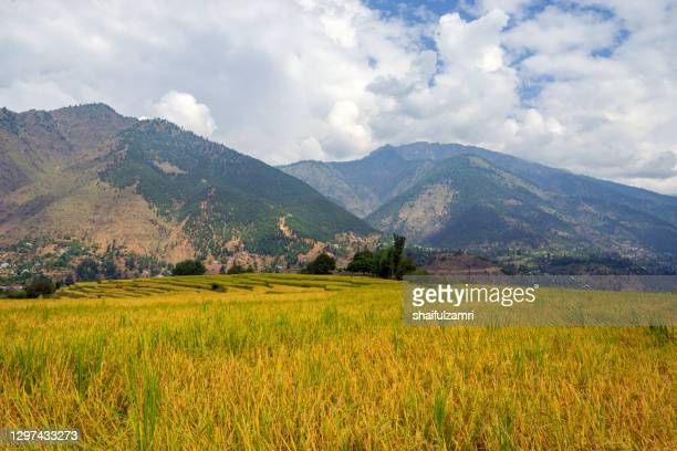 view of paddy fields at kangan valley of kashmir - shaifulzamri stock pictures, royalty-free photos & images
