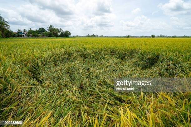 view of paddy fields before harvest season start in sungai besar, a well known place as one of the major rice supplier in malaysia. - shaifulzamri stock-fotos und bilder