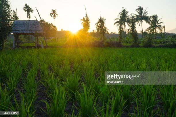 view of paddy fields near rinjani national park in lombok, indonesia - shaifulzamri bildbanksfoton och bilder