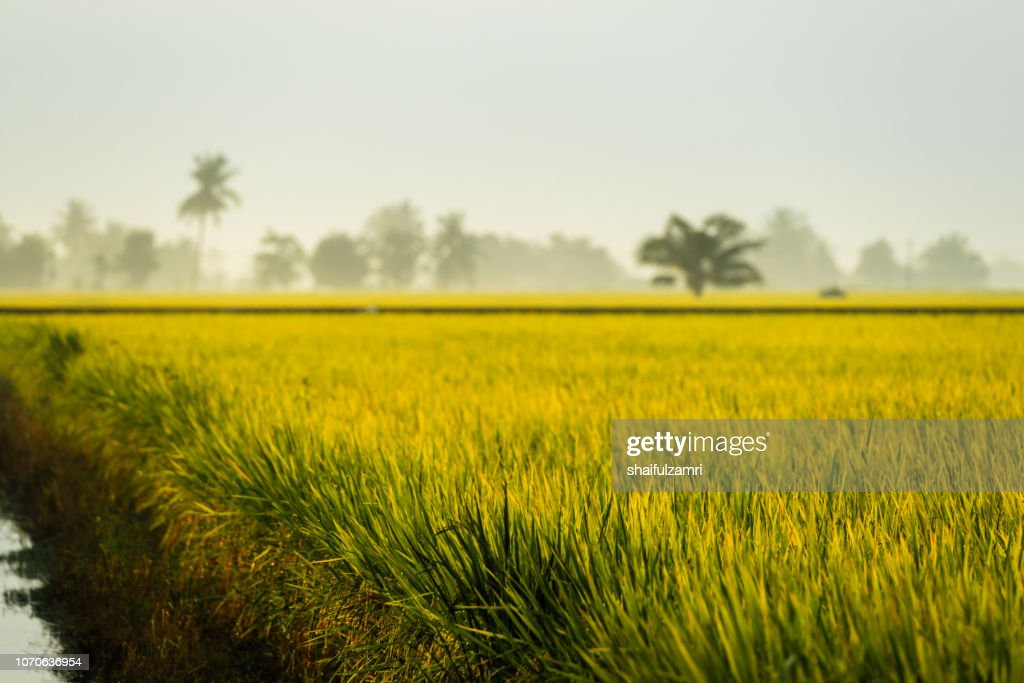 View of paddy fields on early morning at rural area of Malaysia : Stock Photo