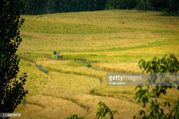 view of paddy fields over kangan, kashmir. - shaifulzamri stock pictures, royalty-free photos & images