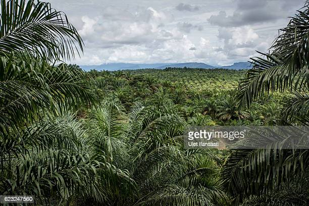 A view of palm oil plantation on November 13 2016 in Trumon subdistrict South Aceh Aceh province Indonesia The Orangutans in Indonesia have been...