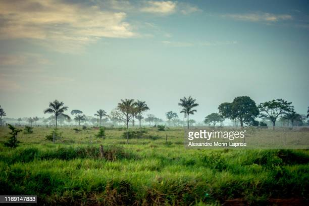 view of palm trees in green field, with clear and sunny sky - 熱帯雨林 ストックフォトと画像