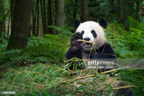view of panda in forest - panda animal stock photos and pictures
