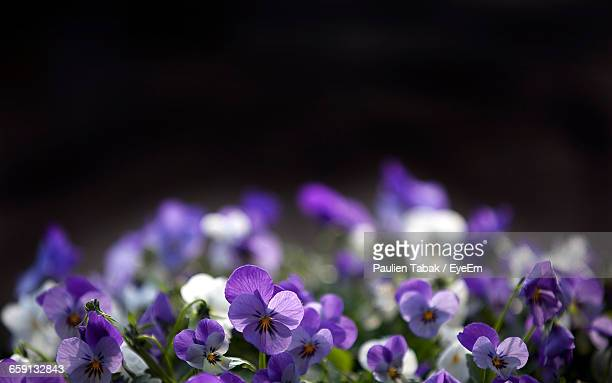view of pansy viola flower - paulien tabak stock pictures, royalty-free photos & images