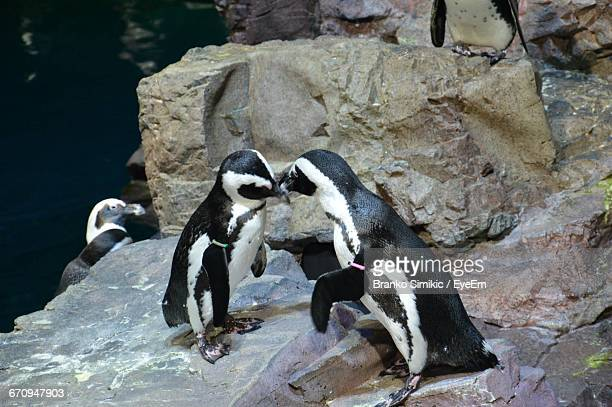 View Of Penguins Mating