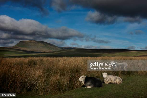 View of Pen-y-ghent past grazing Herdwick sheep on the fells in autumn